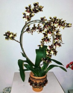 "The ""bellydancer orchid"" on display at work"